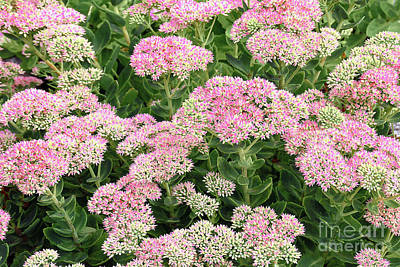 Royalty-Free and Rights-Managed Images - Pink Stonecrop Sedum in Bloom by Regina Geoghan