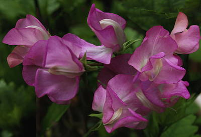 Nautical Animals - Pink Sweet Pea by Jeff Townsend