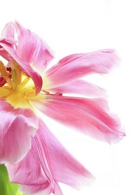 Sara Habecker Folk Print - Pink tulip in full bloom by Filly