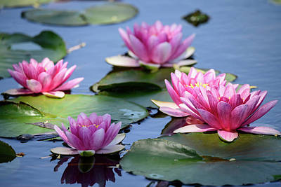 Photograph - Pink Water Lilies Nymphaea 'Marliacea Carnea' by Ray Sheley