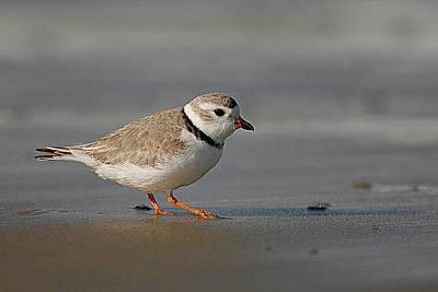 Lori A Cash Royalty-Free and Rights-Managed Images - Piping Plover Walking on Beach by Lori A Cash