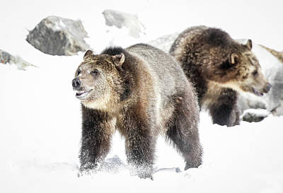 Animals Royalty-Free and Rights-Managed Images - Play Date Grizzlies by Athena Mckinzie