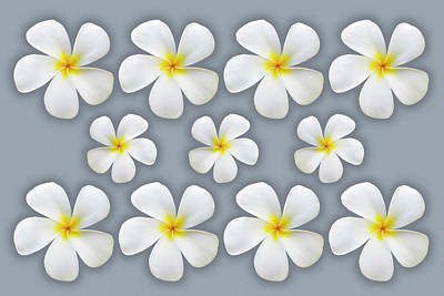 Photograph - Plumeria Flowers on Silver by Kelley King