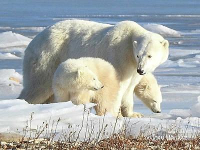 Photograph - Polar Bear Family by Joan Wallner