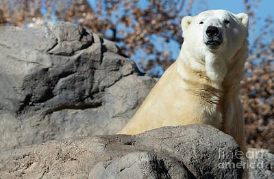 Kitchen Mark Rogan - Polar Bear Portrait  by Ruth Jolly