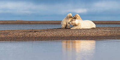 Photograph - Polar Bear Siblings with Mom by Scott Slone