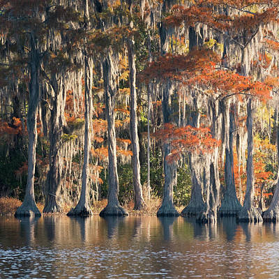 Photograph - Pond Cypress Tryptych 1 by Thom Photography