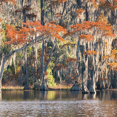Photograph - Pond Cypress Tryptych 2 by Thom Photography