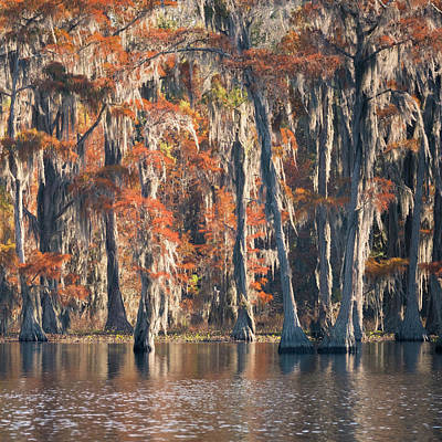 Photograph - Pond Cypress Tryptych 3 by Thom Photography