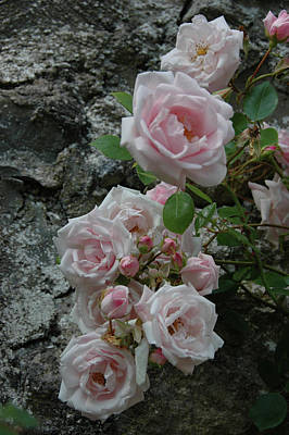 Photograph - Poolewe Roses by Kathy Chung
