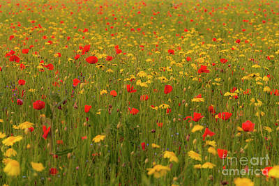 Advertising Archives - Poppies and Corn Marigolds by Terri Waters