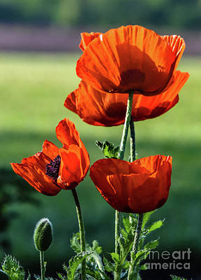 Clouds Rights Managed Images - Poppies Blowing In The Wind Royalty-Free Image by Cindy Treger