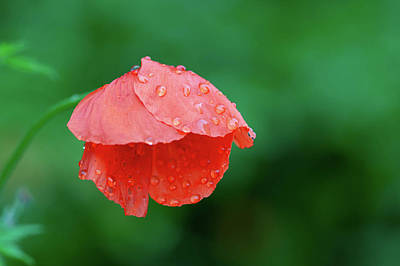 Graduation Hats - Poppy in the Rain by Rob Hemphill