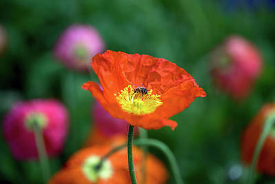 Royalty-Free and Rights-Managed Images - Poppy Pollination by Az Jackson