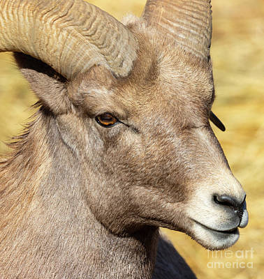 Steven Krull Royalty-Free and Rights-Managed Images - Portrait of a Beautiful Ram Bighorn by Steven Krull