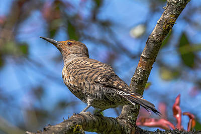 Old Masters - Portrait of a Flicker by Marv Vandehey