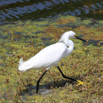 Animals Royalty-Free and Rights-Managed Images - Portrait of a Little Egret by David T Wilkinson