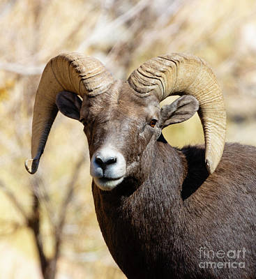 Steven Krull Royalty-Free and Rights-Managed Images - Portrait of a Powerful Bighorn Warrior by Steven Krull