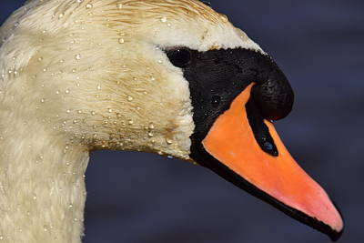 Just Desserts Rights Managed Images - Portrait Of A Swan Royalty-Free Image by Neil R Finlay