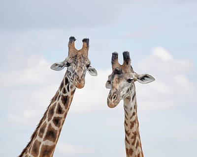 Modern Sophistication Line Drawings Royalty Free Images - Portrait of two giraffes Royalty-Free Image by Murray Rudd