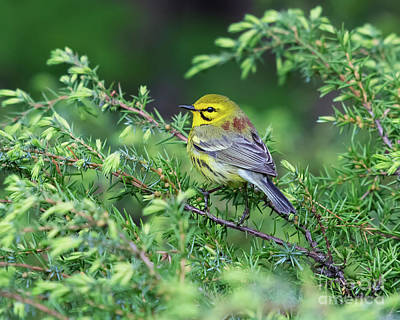Modern Sophistication Line Drawings Royalty Free Images - Prairie Warbler Royalty-Free Image by Nina Stavlund