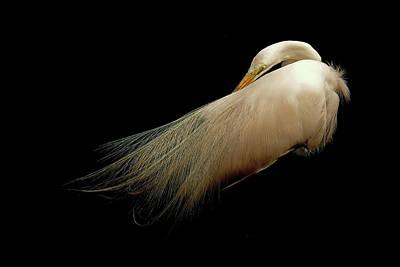 Animal Portraits - Preening Egret  by Stuart Harrison