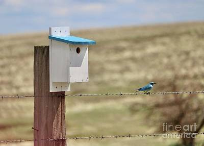 Animals Royalty-Free and Rights-Managed Images - Pretty Bickleton Bluebird on Wire by Carol Groenen