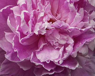 Royalty-Free and Rights-Managed Images - Pretty In Pink Peony Petals Flower Photography  by Ann Powell