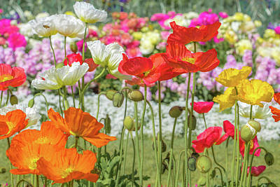 Royalty-Free and Rights-Managed Images - Pretty Poppies by Az Jackson