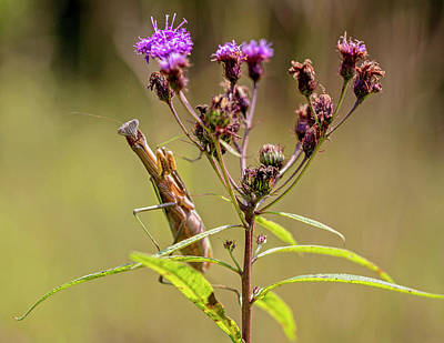 Abstract Male Faces - Preying Mantis on New York Ironweed by Carol Senske