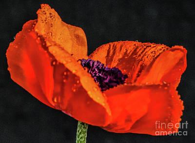 Blue Hues - Prince Of Orange Poppy Macro by Cindy Treger
