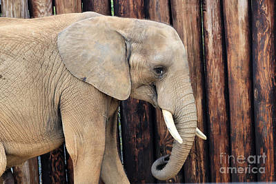 Owls - Profile Of The African Forest Elephant by Diann Fisher