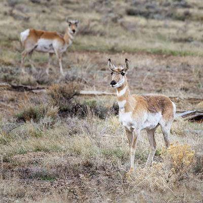 Animals Royalty-Free and Rights-Managed Images - Pronghorn Antelope by Joan Carroll