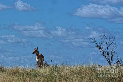 Photograph - Pronghorn Watching by Diana Mary Sharpton