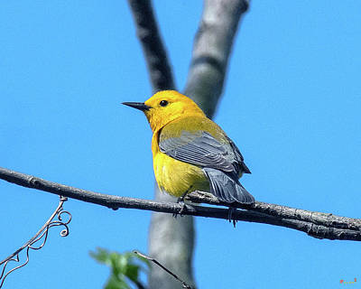 Photograph - Prothonotary Warbler DSB0344 by Gerry Gantt