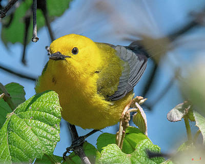 Photograph - Prothonotary Warbler DSB0373 by Gerry Gantt