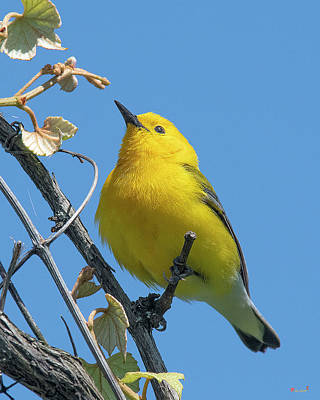 Photograph - Prothonotary Warbler DSB0375 by Gerry Gantt