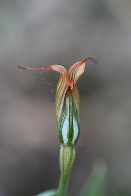 Old Masters - Pterostylis recurva by Michaela Perryman