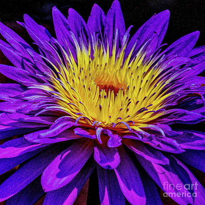 Royalty-Free and Rights-Managed Images - Purple and Yellow Flower by Nick Zelinsky Jr