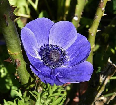 Vermeer Rights Managed Images - Blue Anemone 2 Royalty-Free Image by Linda Brody