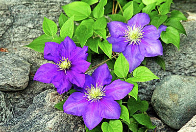 Anne Geddes Collection - Purple Clematis On The Rocks by Debbie Oppermann