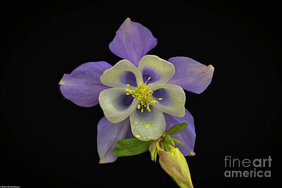 Photo Royalty Free Images - Purple Columbine On Black Royalty-Free Image by Mitch Shindelbower