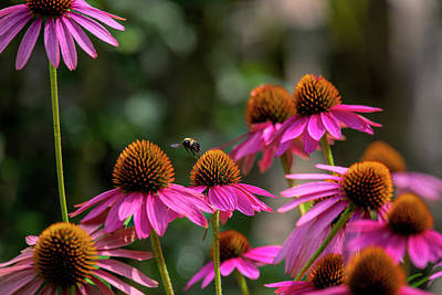 Popstar And Musician Paintings Royalty Free Images - Purple cone flowers with bumble bee Royalty-Free Image by Dan Friend
