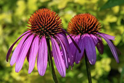 Spot Of Tea Royalty Free Images - Purple Coneflower Morning Sun Royalty-Free Image by Fon Denton