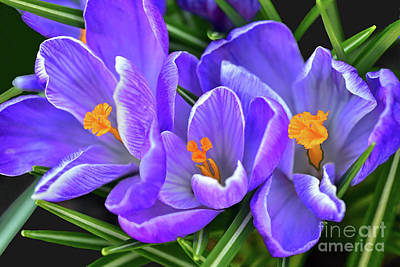 Nirvana -  Purple Crocus Flower Trio  by Regina Geoghan