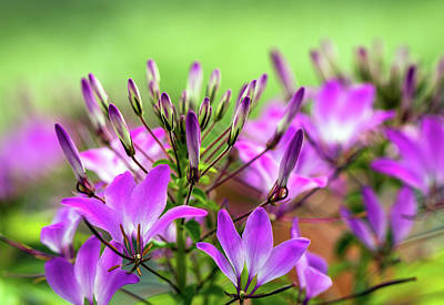 Photograph - Purple Flowers by R Scott Duncan