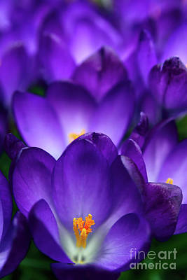 Keith Richards - Purple Is My Favourite Color Ii - Spring Crocus Flowers - 3 by Terry Elniski