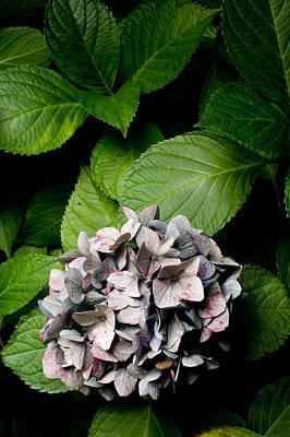 Photograph - Purple Mophead Hydrangea by Marcio Faustino