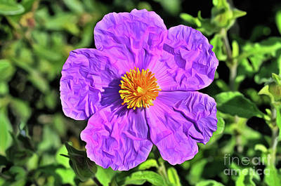 Royalty-Free and Rights-Managed Images - Purple rockrose by George Atsametakis
