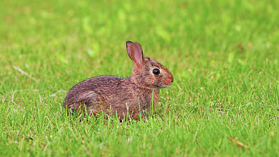Royalty-Free and Rights-Managed Images - Rabbit in the Grass by Amelia Pearn